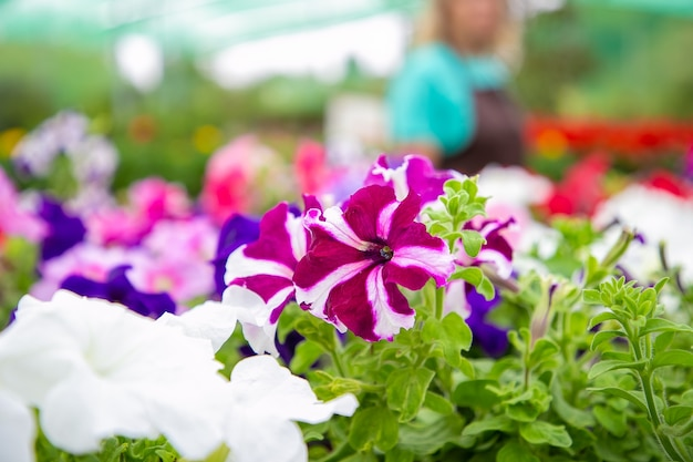 Belles plantes de pétunia en fleurs dans des pots