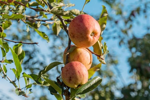 Belles pommes rouges sur un arbre
