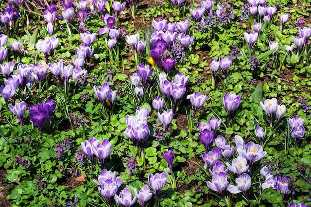 De belles premières fleurs printanières de crocus fleurissent sous la lumière du soleil dans le parc.