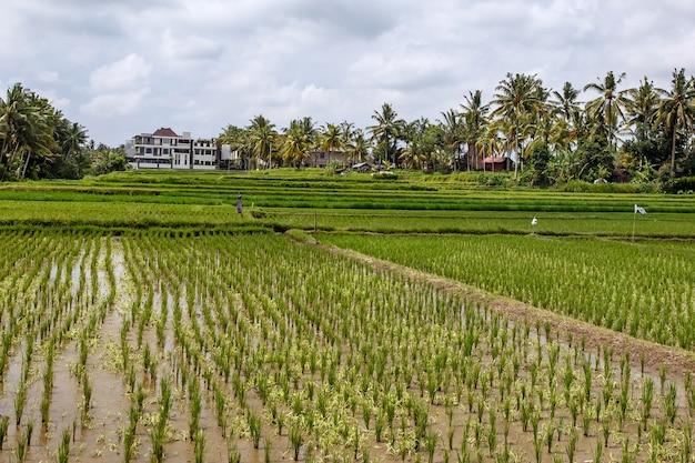 Belles rizières à bali, indonésie.