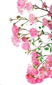 Belles roses bouquet fleurs isolés sur fond blanc