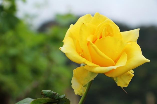 De belles roses fleurissent dans le jardin