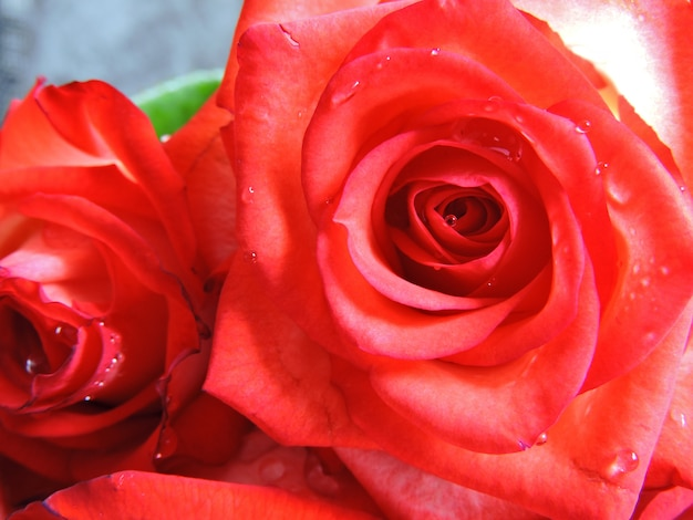 Belles roses sur fond gris. un cadeau pour une date le jour de la saint-valentin.