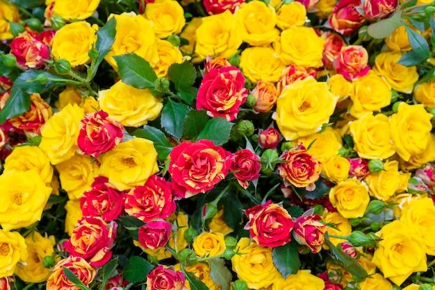 Belles roses jaunes.