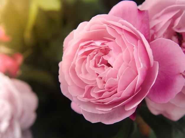 Belles roses roses au jardin au soleil du matin.