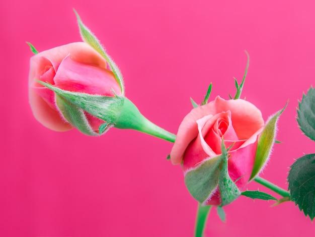Belles roses roses sur un fond doux