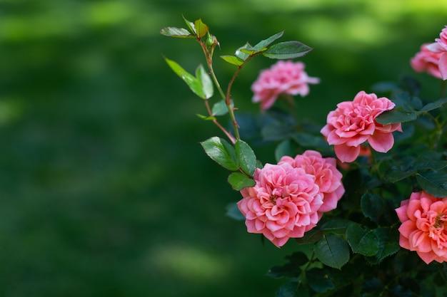 Belles roses roses sur fond vert
