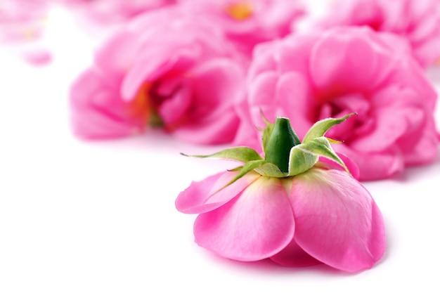 Belles roses roses, gros plan