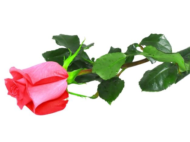 Belles roses roses simples isolées sur fond blanc.
