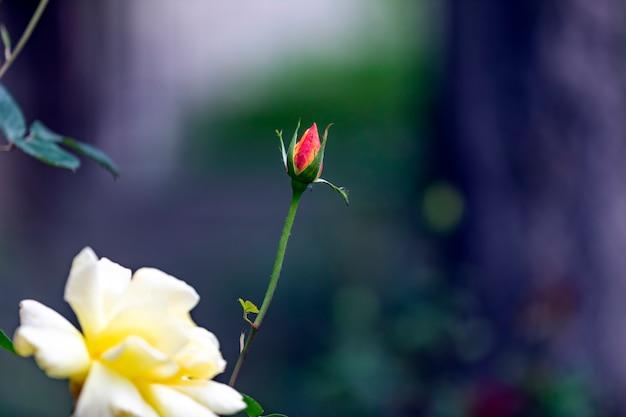 Belles roses rouges et jaunes dans le jardin