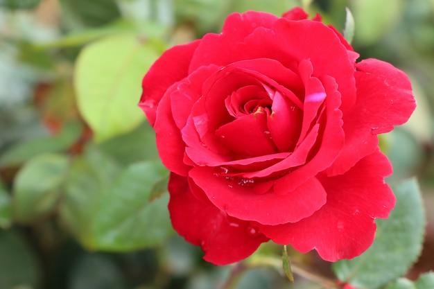 Belles roses en tropical