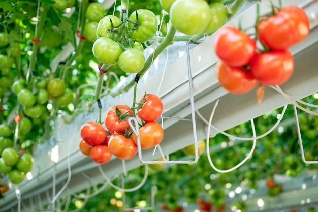 De belles tomates mûres rouges cultivées en serre