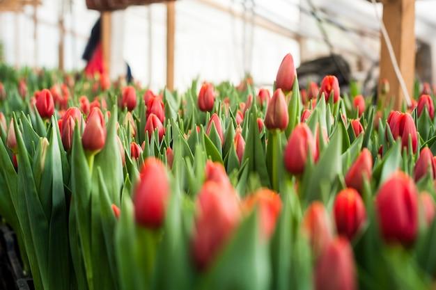 De belles tulipes cultivées en serre