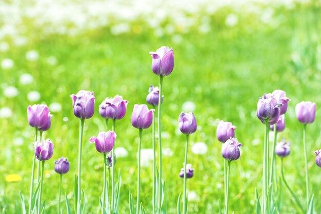 Belles tulipes avec de l'herbe verte sur fond