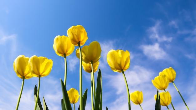 Belles tulipes jaunes au printemps contre le ciel bleu avec fond floral de nuages