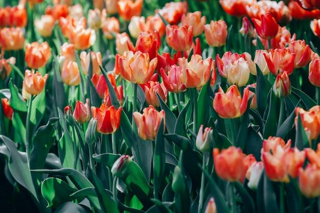 Belles tulipes roses au printemps