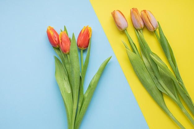 Belles tulipes roses sur fond de papier multicolore avec espace de copie. printemps, été, fleurs, concept de couleur, journée de la femme.