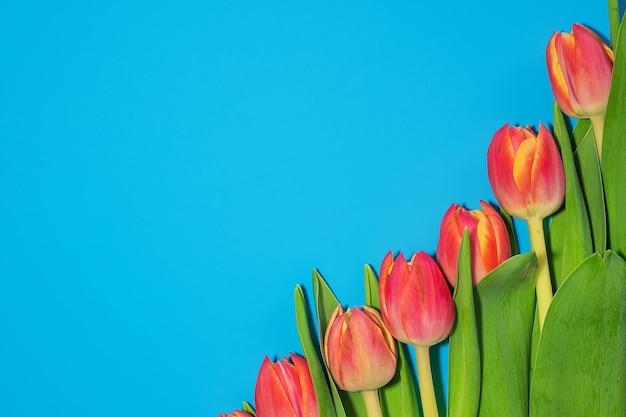Belles tulipes roses fraîches sur bleu. vue de dessus.