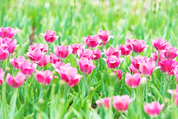 Belles tulipes roses avec de l'herbe verte sur fond