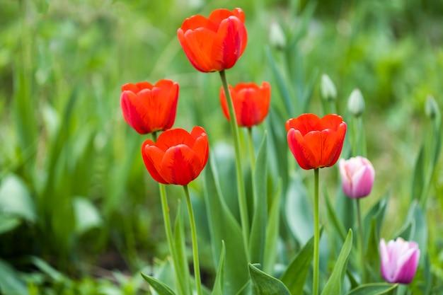 Belles tulipes rouges dans la nature. carte postale d'été. photo de haute qualité