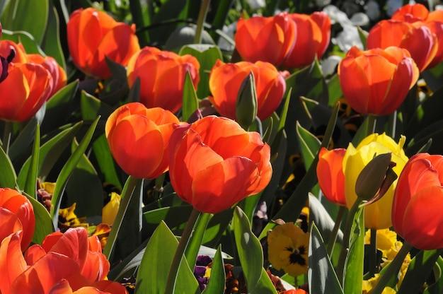 Belles tulipes rouges