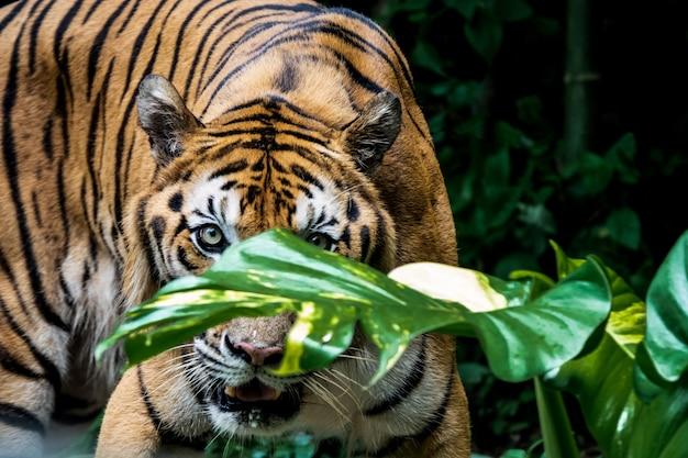 Bengal tiger vous regarde.