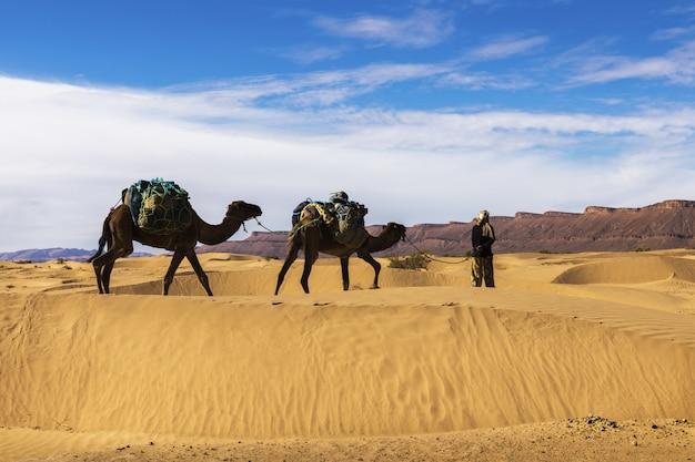 Bereber et deux chameaux dans le désert du sahara, maroc