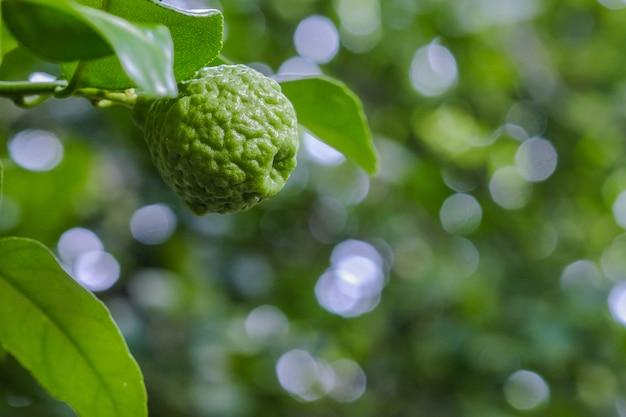 Bergamote et feuilles sur un arbre, bergamote (citron kaffir)