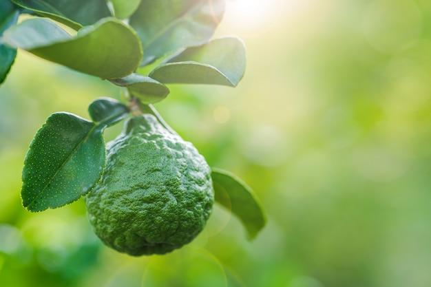 Bergamote, fruits frais sur l'arbre et copie espace