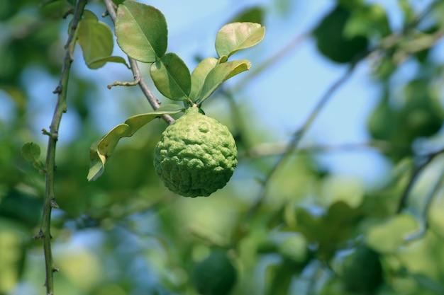 Bergamote kaffir, citron vert sur fond d'arbres et de feuilles vertes floues