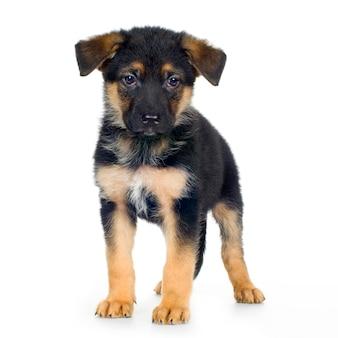 Berger allemand (7 semaines) chien alsacien. portrait de chien isolé