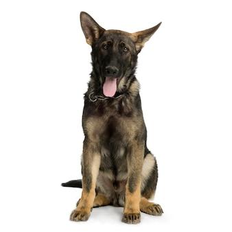 Berger allemand ou alsacien. portrait de chien isolé (5 mois)