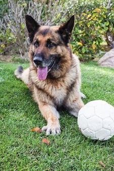 Un berger allemand avec un ballon de foot sur l'herbe.