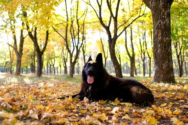Berger allemand dans la forêt d'automne, agilité de chien tisse