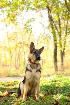 Berger allemand dans le parc en automne. chien en forêt