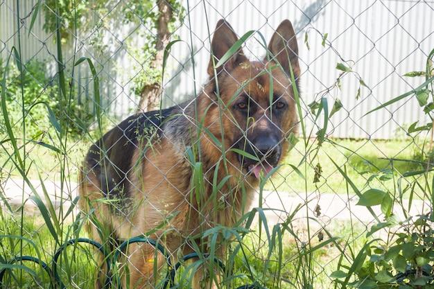 Berger allemand regarde à travers la clôture et l'herbe