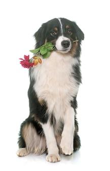 Berger australien tricolore et fleur