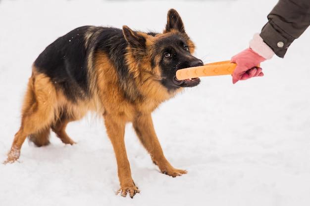 Berger brun jouant avec un jouet rond jaune avec un humain sur la neige dans un parc.