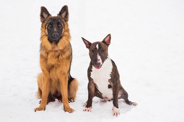 Berger et bull terrier assis sur la neige dans un parc. chiens de race