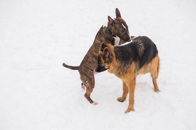 Berger et bull terrier jouant sur la neige dans un parc. chiens de race ludiques