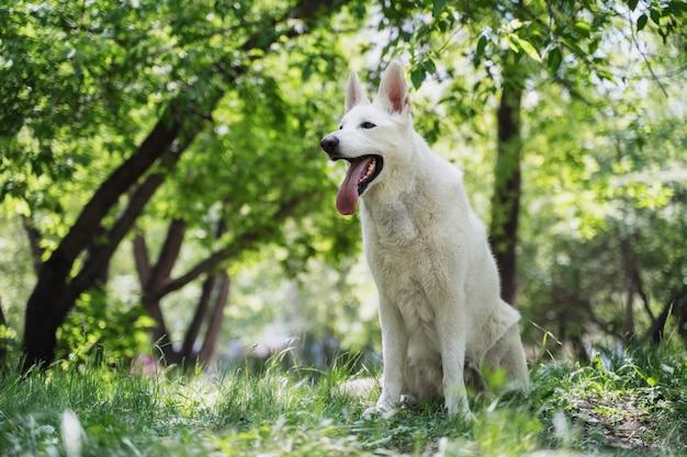Un berger suisse blanc est assis sur l'herbe