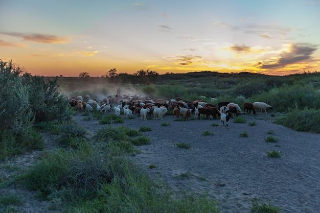 Berger avec troupeau de moutons au coucher du soleil retour du pâturage. kazakhstan