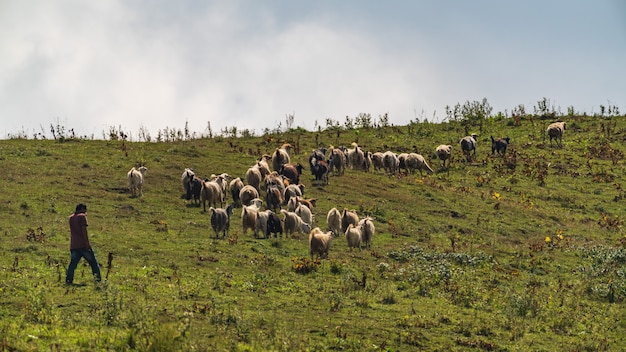 Berger et troupeau de moutons paissant sur un versant de montagne