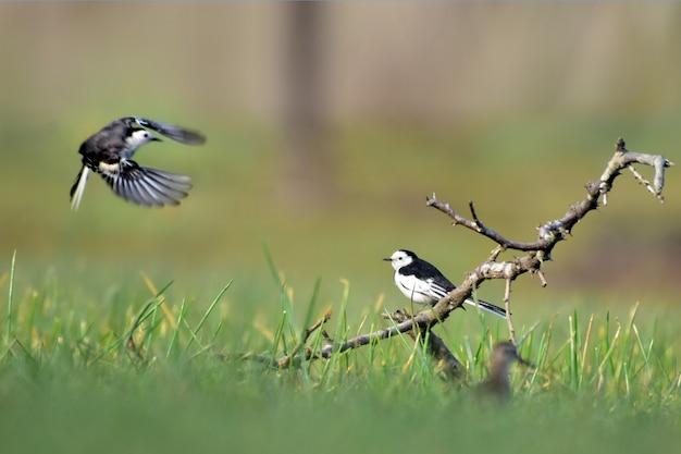 La bergeronnette grise est un oiseau élancé