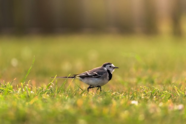 Bergeronnette grise perchée sur l'herbe au sol