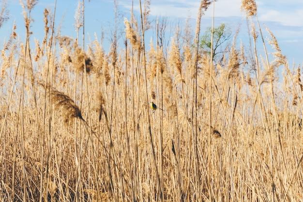 Bergeronnette jaune dans l'herbe séchée en journée d'été