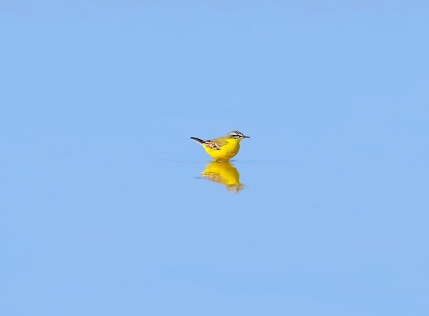 Une bergeronnette jaune est baignée dans de l'eau peu profonde