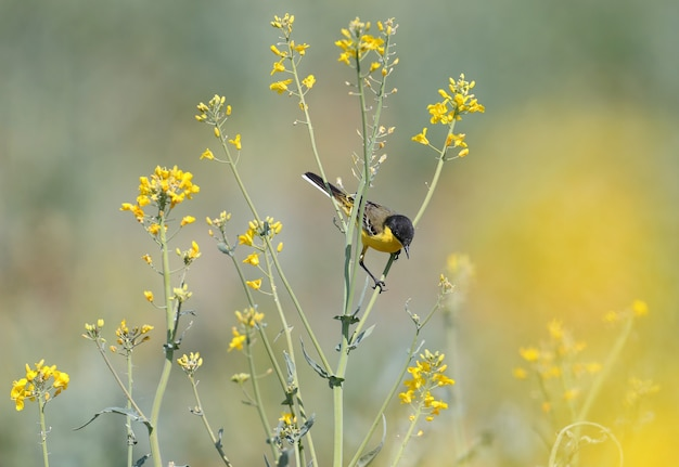 Une bergeronnette à tête noire (motacilla feldegg) est assise sur de fines branches d'un buisson de viol à la recherche de nourriture.