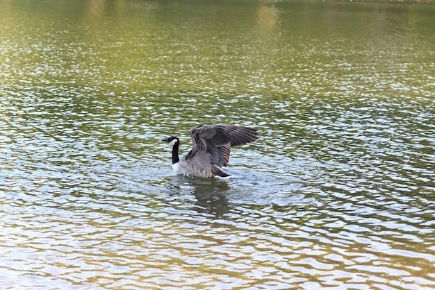 Bernache du canada dans des ailes de volets d'eau