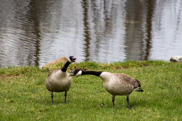 Bernaches du canada grises marchant au bord du lac pendant la journée